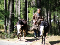 Cow herder enroute to the Tiger's Monastery