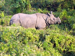 A greater one-horned rhino at Chitwan National Park