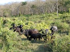 A herd of buffalo; Chitwan National Park