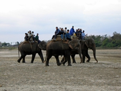 An elephant excursion returns; Chitwan National Park (elephants are ideal for safari as you can get very close to Asian single horned rhinoceros, Bengal tigers, deer, monkeys, antelope or even leopards)