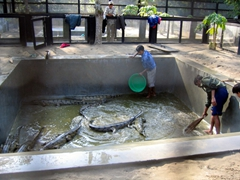 Its cleaning time at the gharial crocodile conservation park; Chitwan