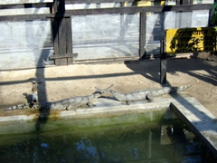 Gharial crocodiles have elongated, narrow snouts and are critically endangered. They are also called fish-eating crocodiles and are native to the Indian Subcontinent