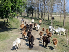 A Nepalese traffic jam (these cows have right of way)