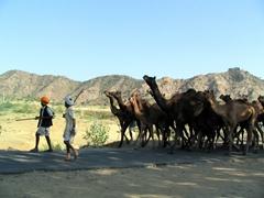 Camel herders leading their flock; Pushkar Camel Festival