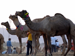 Camels and tourists; Pushkar sunset point