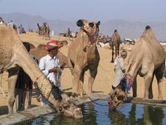 Camels greedily gulping water, Pushkar Camel Festival