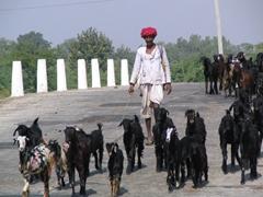 Goat herder; Ranakpur