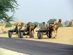 Camel caravan; Bikaner