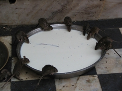 These fat rats are slurping milk from a bowl; Karni Mata Temple