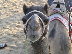 Such a cutie! Becky's camel has two nose-rings
