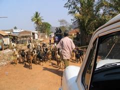 Local traffic jam, man herding goats