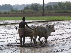 Old fashioned method of plowing the rice fields