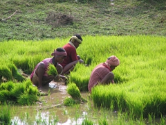 Backbreaking work in the rice paddies