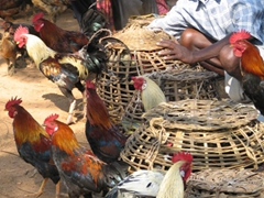 Fresh roosters for sale at the Dongariya Tribal Market