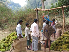Fresh jackfruit being weighed in, Dongariya Weekly market