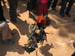 Cockfight at the Muria marketplace in Narayanpur