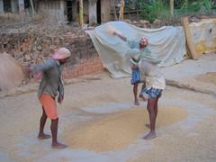 Locals shifting through rice
