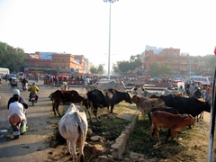 Cows are sacred in India and have free reign to do whatever they please on the road