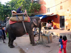 One of Jaipur's hard working elephants gets a brief respite from carrying heavy tourists up to the Amber Palace