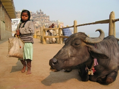 A girl strolls past a buffalo lounging on the walkway along the Ganges River; Varanasi
