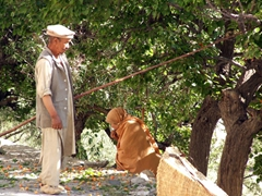 An elderly couple picks apricots by the roadside