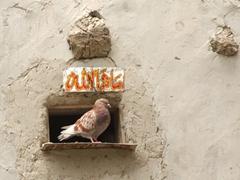 A carrier pigeon peers at us in curiosity; Keris