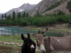 A donkey and her new born calf strike a pose; Naltar Lake