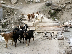 These goats crossed over the wooden bridge all by themselves, knowing exactly where they wanted to go