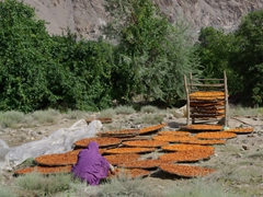 This woman was busy laying out apricots to dry