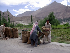 Karimabad locals stuffing potatoes into sacks, getting them ready for the market