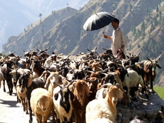 The goat/sheep herder has his hands full as his animals take over the entire road
