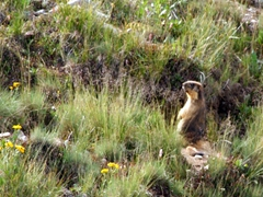 Golden marmots pop up in curiosity, watching our every move; Deosai National Park