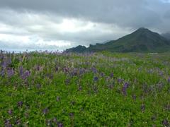 A beautiful lupine field; near Vík