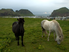 Horses grazing in a pasture on the Westman Islands