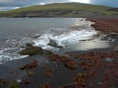 Red seaweed on Vikin Beach; Heimaey Island
