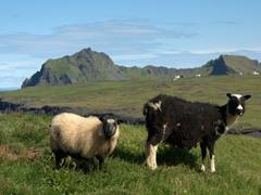 Curious sheep check us out; Stórhöfði