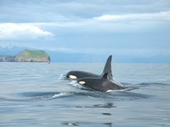 Orcas! We were thrilled to have dozens of killer whales swimming all around us on our Westman Islands tour
