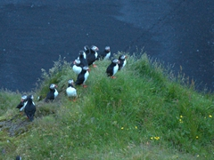 A midnight view of the puffins of Dyrhólaey. They look happy to be back after a long day at sea!