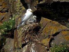 A seagull mother and chick, Borgarfjörður Eystri