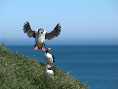 Puffins are the most ungraceful birds when they land. This one reminded us of a helicopter frantically crash landing