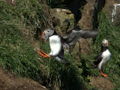 A puffin hops towards his burrow with a beakful of fish
