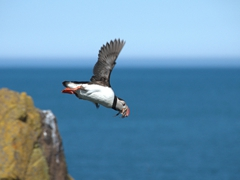 Mid-flight photo of a puffin carrying fish