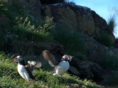 We couldn't get enough of the puffins so we returned in the late afternoon to catch a bit more of their antics;  Borgarfjörður Eystri