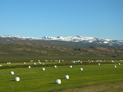 Hay rolls wrapped in white plastic are a common sight in Iceland during the summer time