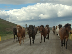Icelandic horses take over the road