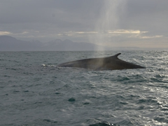 View of our hybird blue/fin whale. Our guide told us that this whale had been genetically tested and was proof that different whale species can successfully mate
