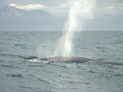 Another view of our elusive whale; Húsavík