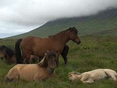Icelandic horses chilling in a pasture