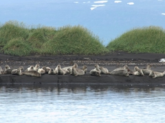 Harbor seals on a black sand beach in Osar