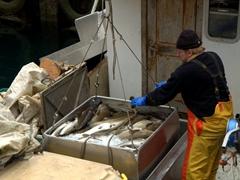 A fisherman hauls in a day's worth of fish; Suðureyri harbor